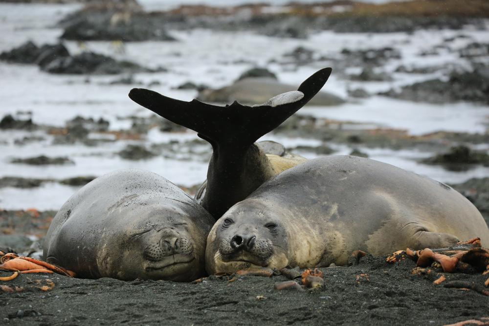 тюлени улыбаются