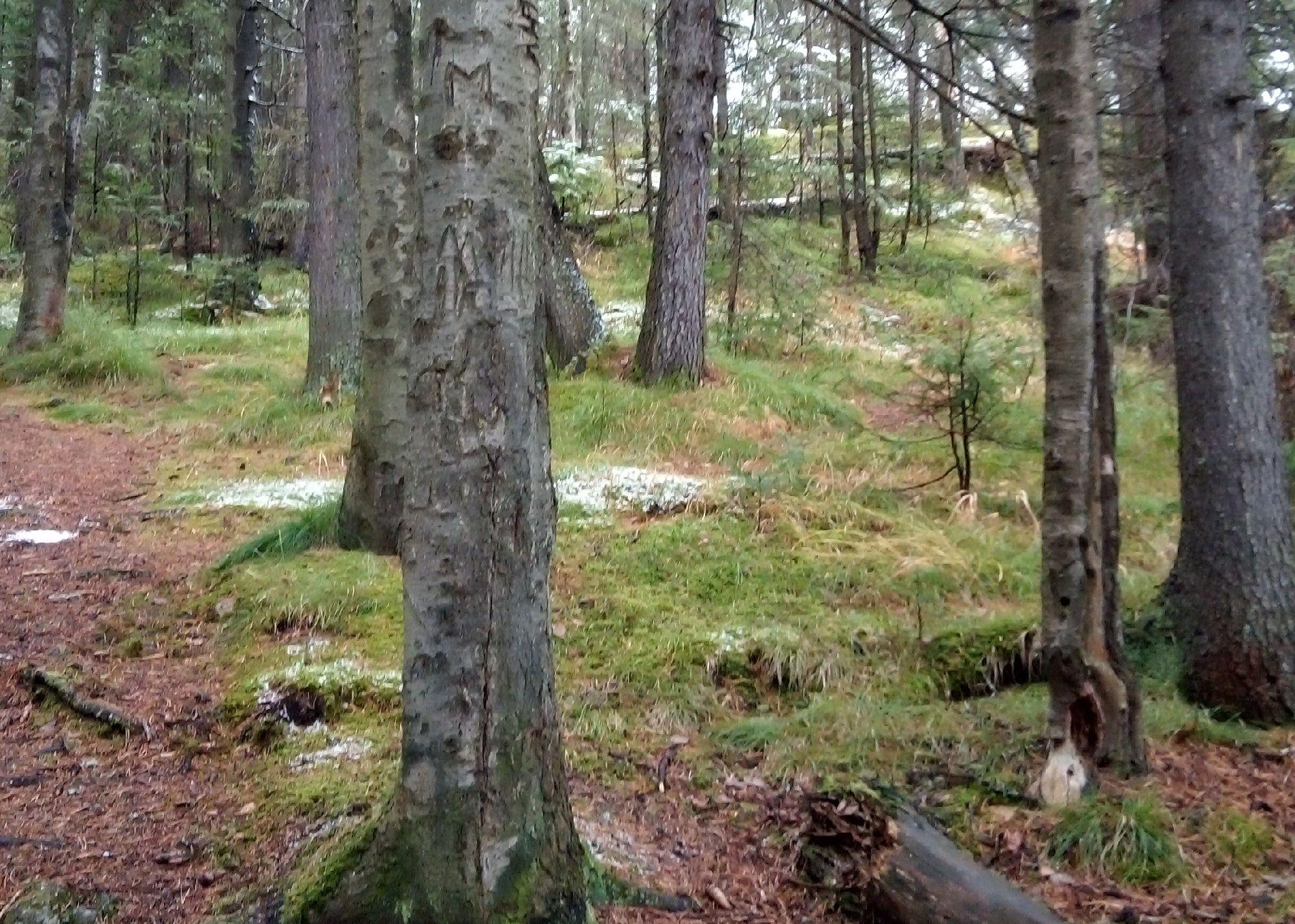 В глубине леса ещё совсем зелено: снег остался на кронах...