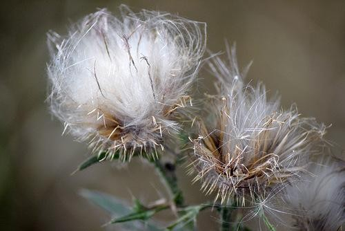 Семена чертополоха