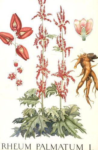 Rheum palmatum L