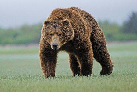 1385714492_v-rossii-na-doroge-neozhidanno-okazalsja-bolshoj-medved.-video