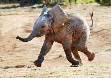 baby-elephant-walk