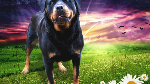 Animals___Dogs_Rottweiler_on_the_background_radiance_085016_