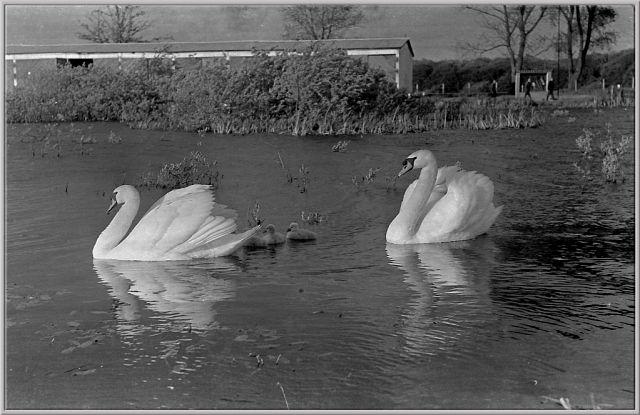 лебеди в автопарке2