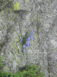Альпійські дзвоники