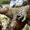 mine-sleeping-1leopard