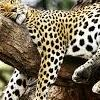mine-sleeping-1leopard3