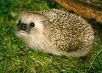 Swedish hedgehog