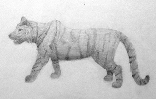 «Тигр». Рисование с натуры. Простые карандаши. Настя, 13 лет.