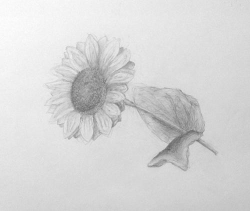 «Подсолнух». Рисование с натуры. Простой карандаш. Даша, 13 лет.