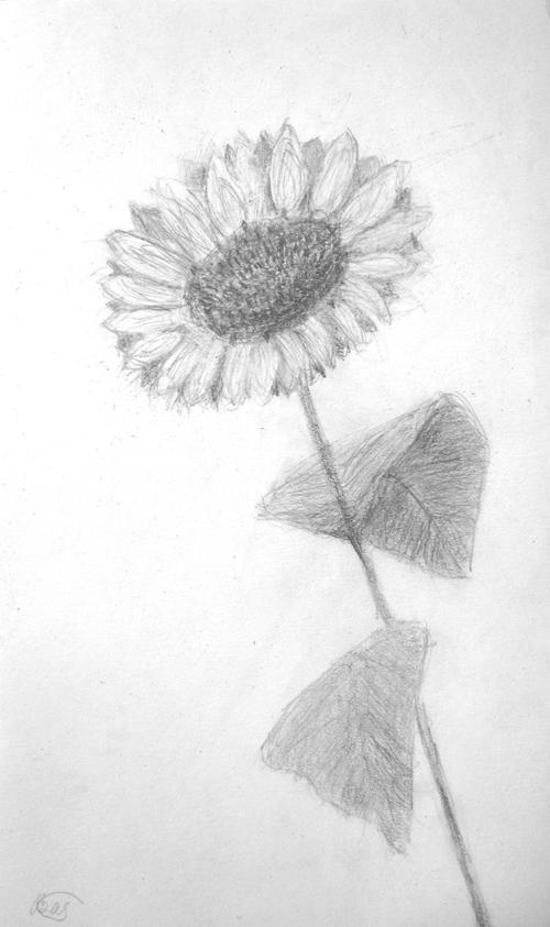 «Подсолнух». Рисование с натуры. Простой карандаш. Дима, 11 лет.