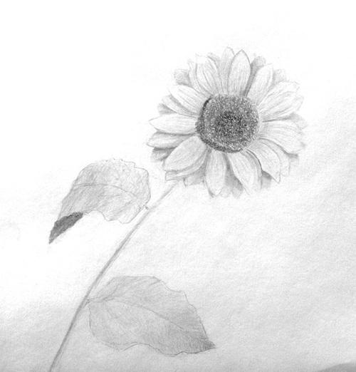 «Подсолнух». Рисование с натуры. Простой карандаш. Женя, 13 лет.