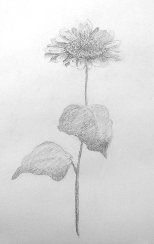 «Подсолнух». Рисование с натуры. Простой карандаш. Полина, 14 лет.