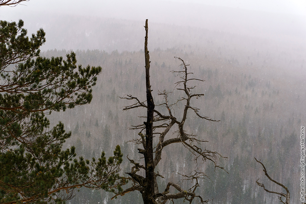 view from the mountain to the forest during a snowfall with burnt pine in the foreground