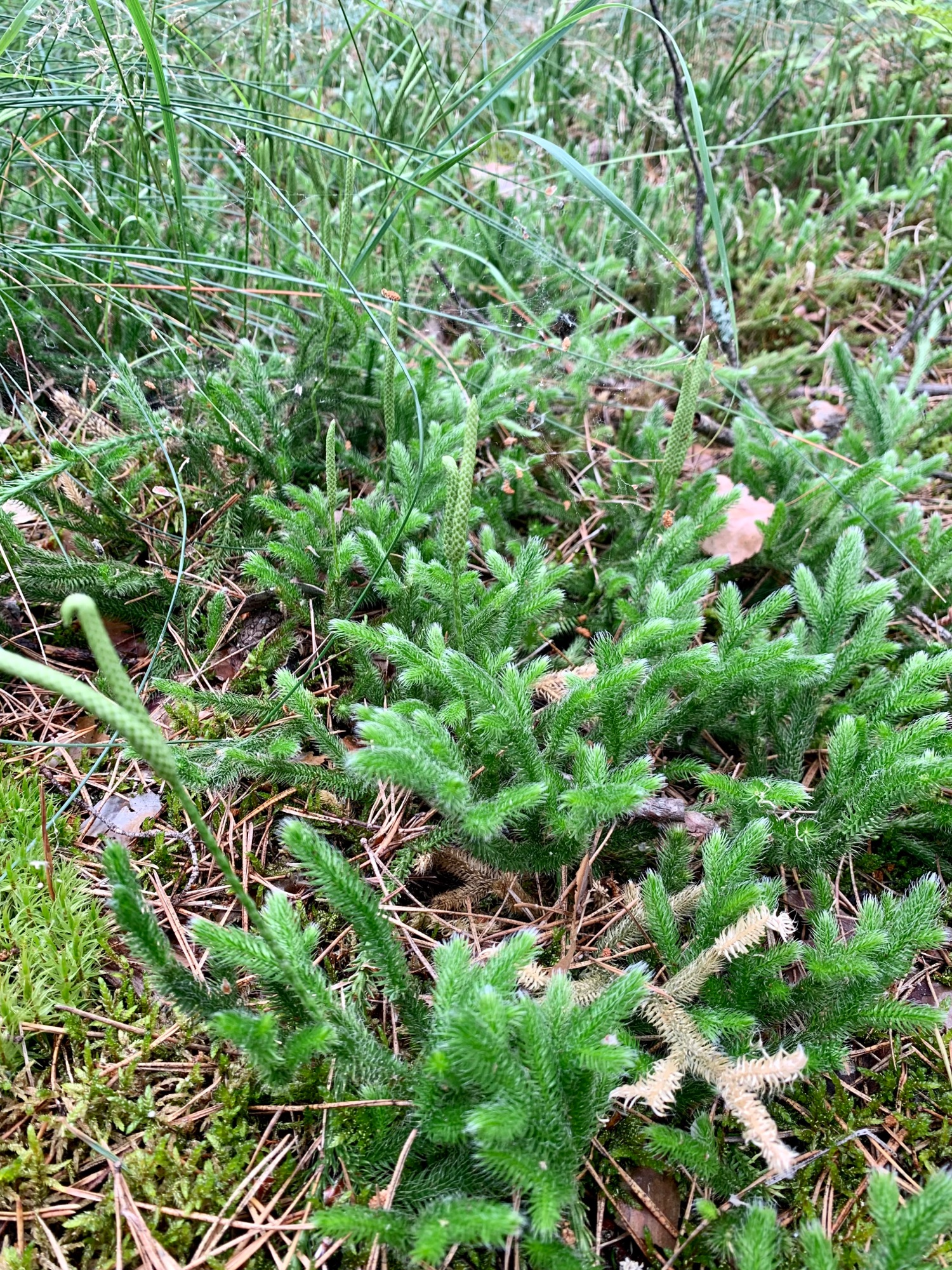 Stag's-horn moss