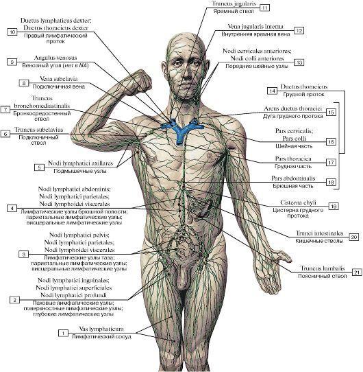 Схема лимфы у человека