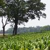 tobacco-field