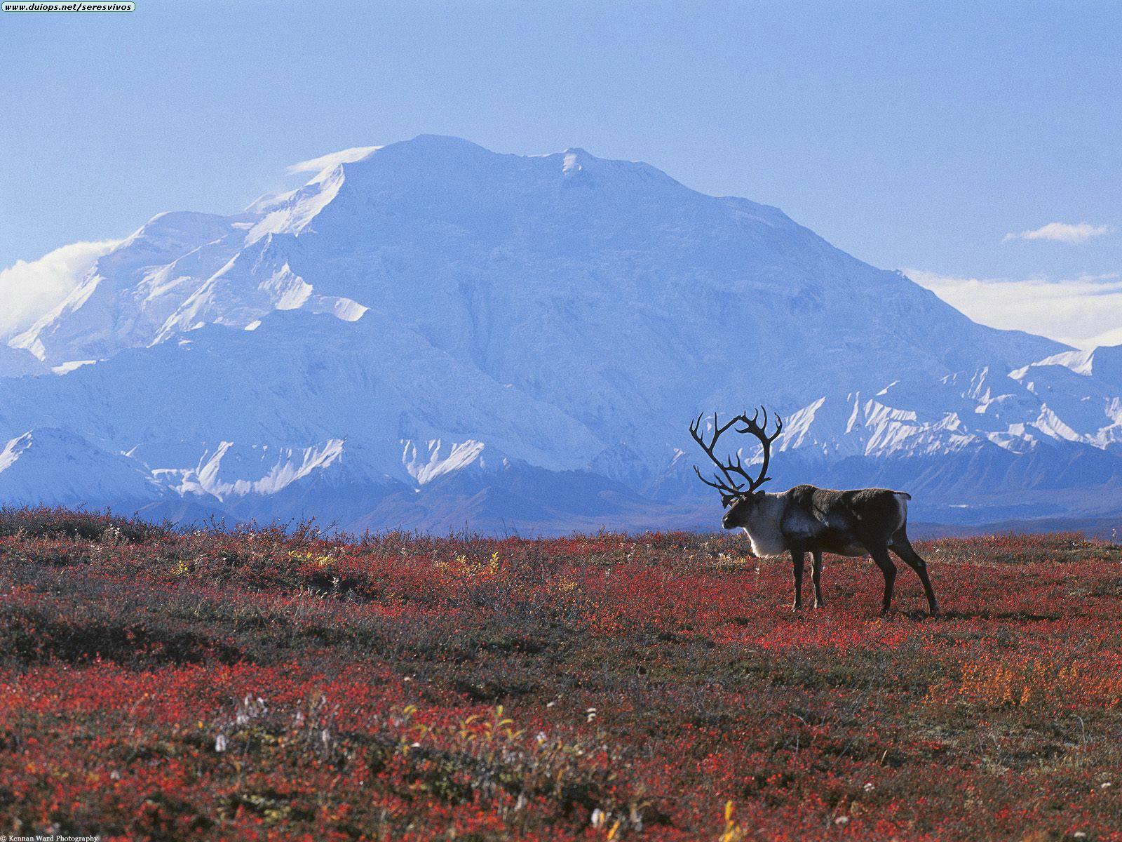 1353348951_caribou_tundra