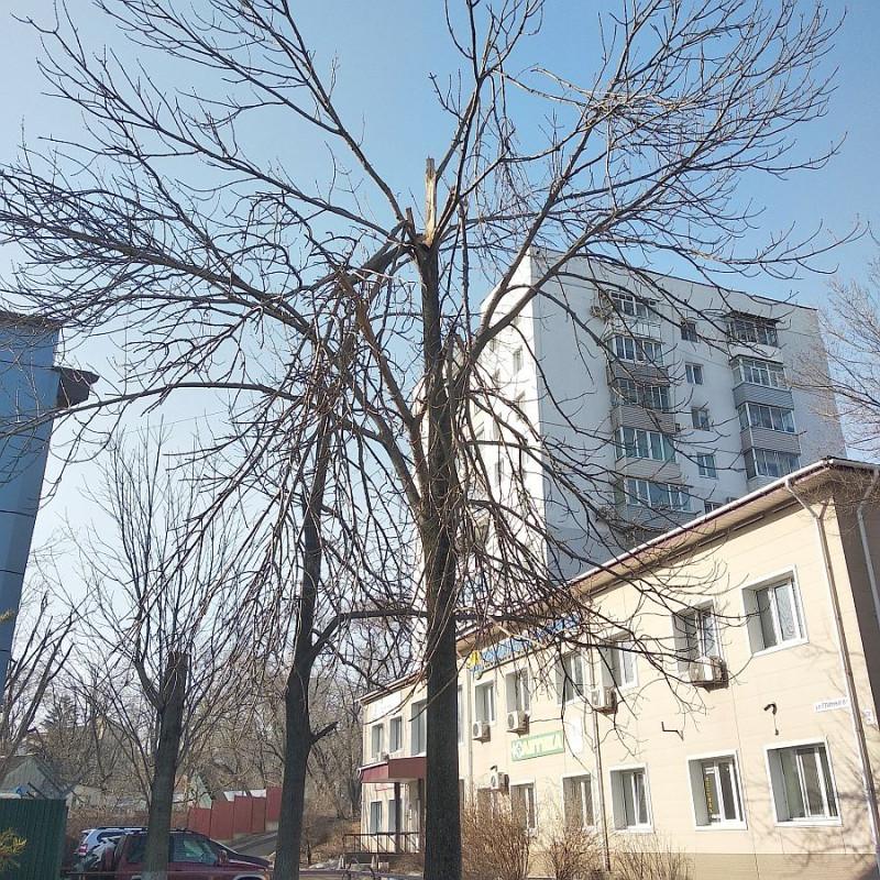 Вот это деревце находится на территории довольно крупного магазина сантехники. И в такой виде : со свисающими над проездом ( проходом к дому ) ветками стоит с тех самых пор.