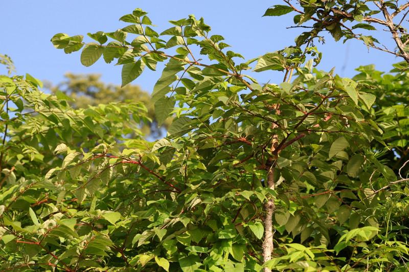 быстрорастущее дерево или кустарник, вид рода Аралия (Aralia) семейства Аралиевые (Araliaceae). Русские народные названия: шип-дерево, чёртово дерево.