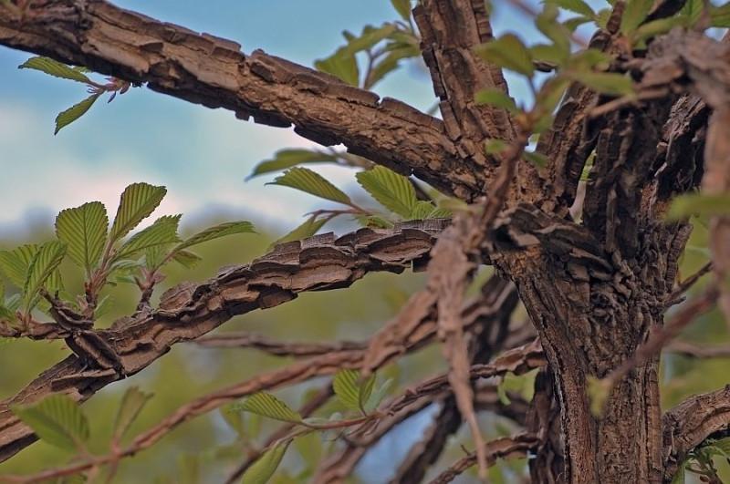 Вяз сродный, или Берест японский — Ulmus propinqua Koidz = U. japonica (Rehder) Sarg.