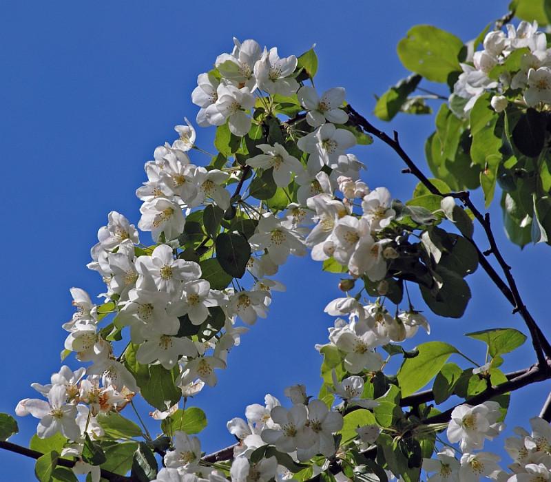 Я́блоня я́годная, или яблоня сибирская ягодная (лат. Malus baccata)