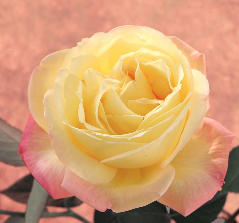 Все фото роз — мои. Розы выращены в небольшом розарии моим отцом.