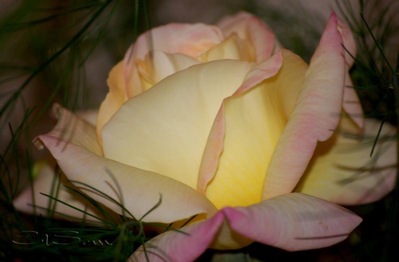 Этого сорта всего один куст, привита роза на шиповник.