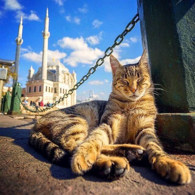 4819c98c73c84aa80c295dbcc52c3a30--cat-behavior-istanbul