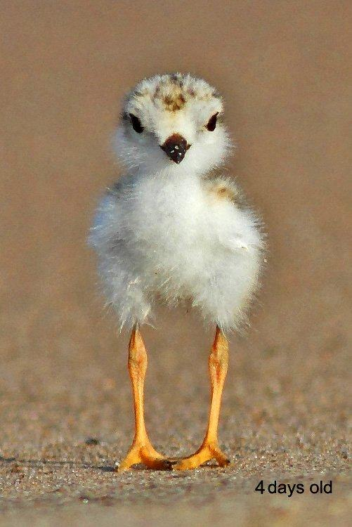 pipl-chick-4-days-old