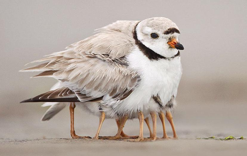 pipl-mother-w-chicks