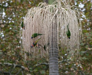 Rainbow Lorikeets in Australian Tree