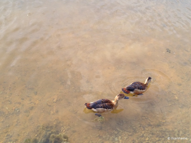 lovey ducklings