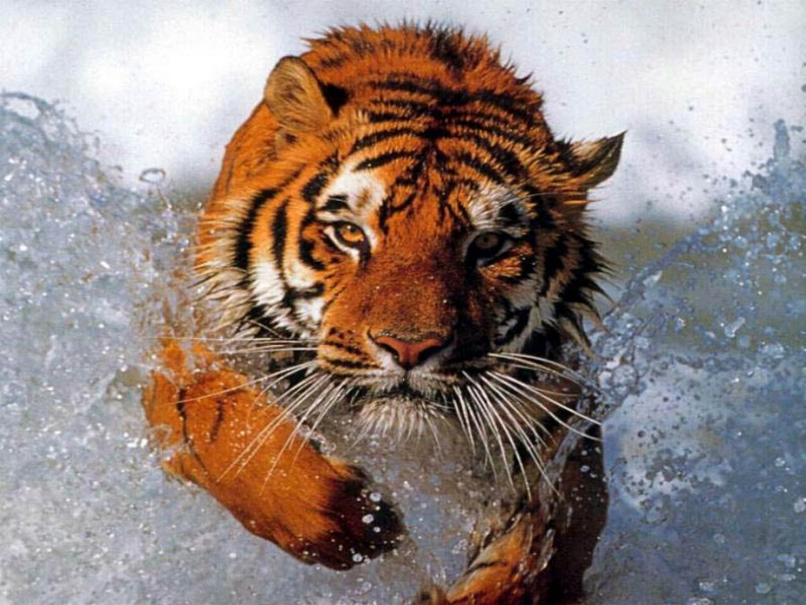 tbathing_tiger