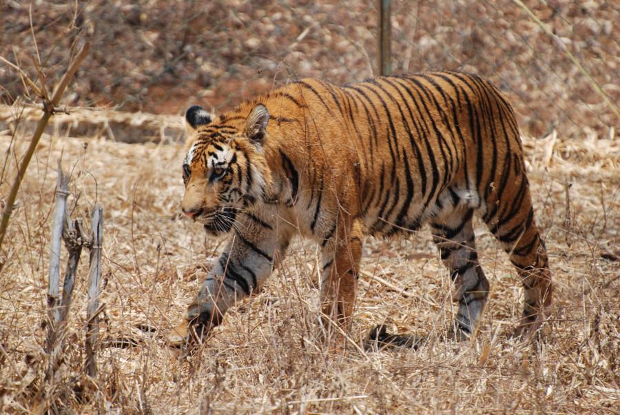 tBengal_Tiger_Karnataka