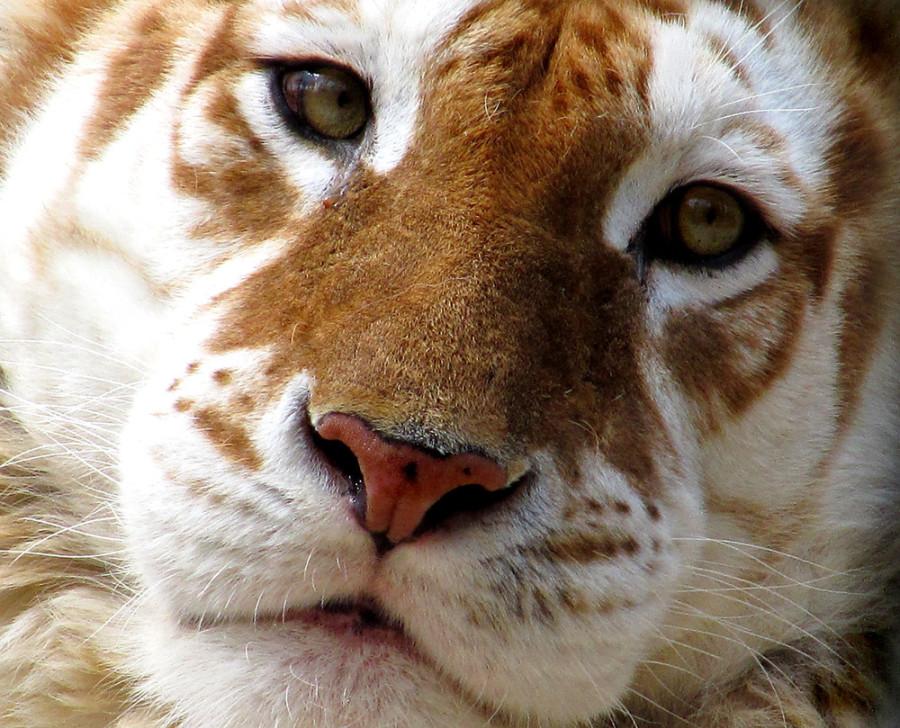 tGolden-tiger-a20853283