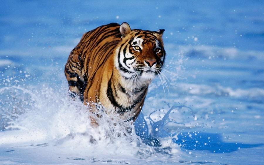 tTiger-tigers-5091123-1280-800