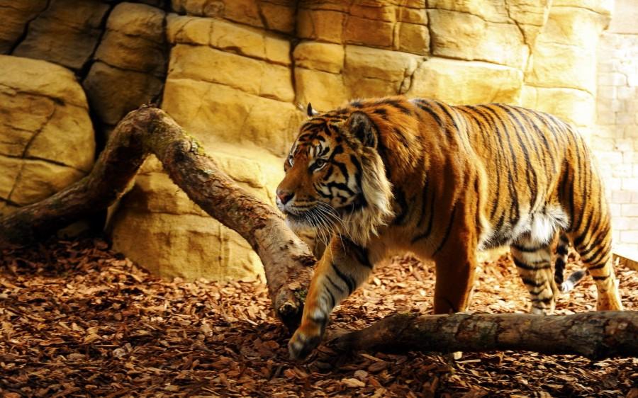ttiger-zoo