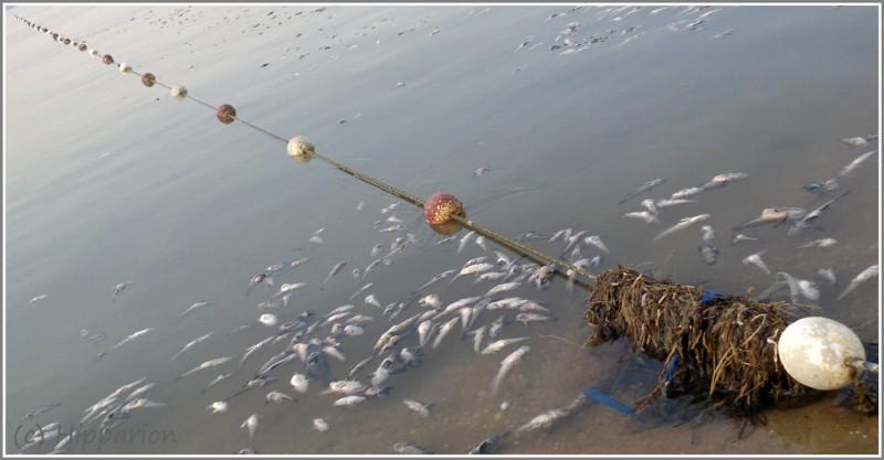 Дохлая-рыба-Азов-Тиздар