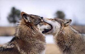 волки французский поцелуй