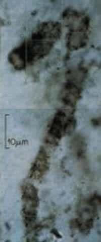 древнейш бактер