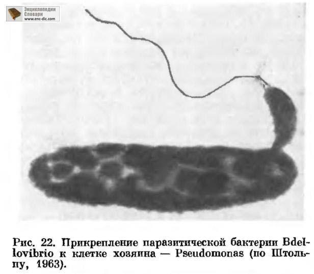 бделловибрион