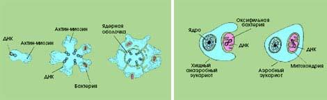 происх митохондр