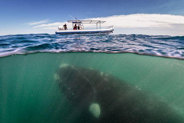 1-right-whale-photographer-close-up-hofman-linblad_74880_600x450
