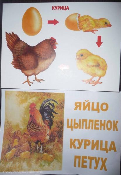 наглядные пособия появление цыпленка семья