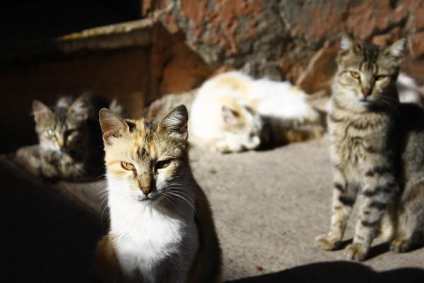 Марракешские коты