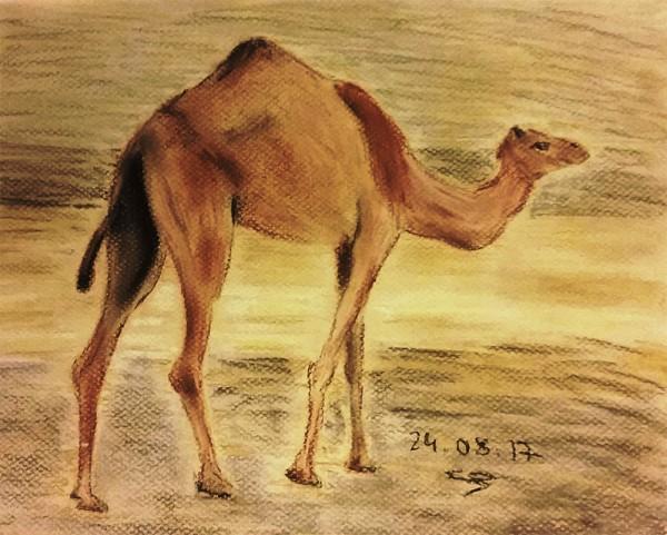 верблюд сангина