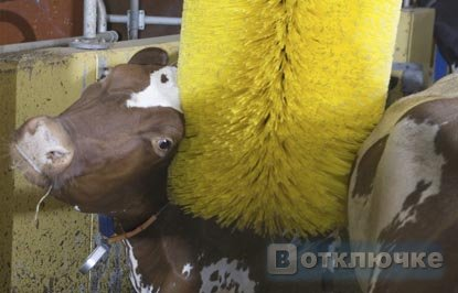 1305209305_cow-wash-041