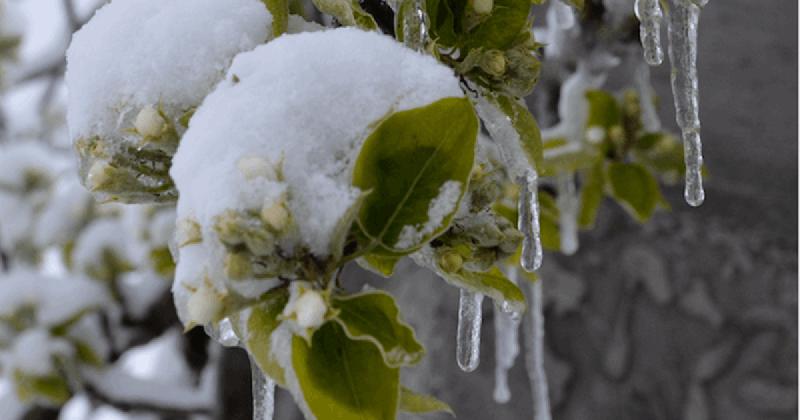 frost-obstbau-schnee-eis-auf-obstbaum-ernteausball