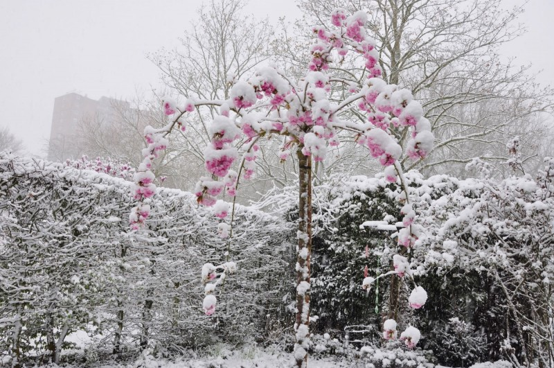 Marina_Nefkens_sneeuw_op_bloessemboom_7_april_2021